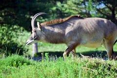 Roan Antelope Hippotragus Equinus en caminar de la naturaleza fotografía de archivo