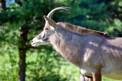 Roan Antelope Hippotragus Equinus en primer de la naturaleza imagenes de archivo
