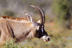 Roan Antelope. (Hippotragus equinus) head and shoulders against a blurred natural background, South Africa Royalty Free Stock Photos