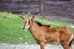 Roan Antelope Hippotragus Equinus Looking foto de archivo libre de regalías