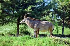 Roan Antelope Hippotragus Equinus na vista da natureza fotos de stock