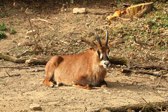 Roan antelope (Hippotragus equinus) resting on sand Royalty Free Stock Images