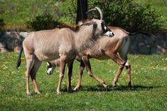 Roan antelope (Hippotragus equinus). Stock Photos