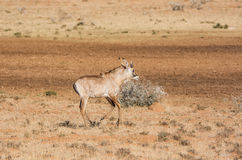 Roan Antelope Royalty Free Stock Images