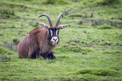 Roan antelope. A lonely roan antelope lying on the grass facing forward Stock Photos