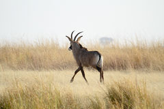 Roan antelope long grass Royalty Free Stock Images