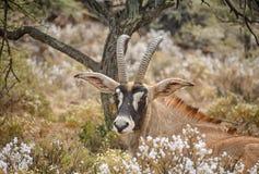 Roan Antelope. Lying in bush in Southern African savanna Stock Photo