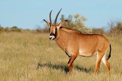 Roan antelope in natural habitat royalty free stock photography