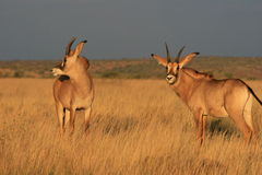 Roan antelope in the Northern Cape Stock Photography