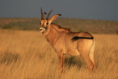 Roan antelope in the Northern Cape. Of South Africa at Mokala Game Reserve royalty free stock photography
