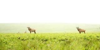 Roan Antelope på kullarna Arkivbild