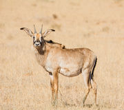 Roan Antelope Portrait Stock Photo