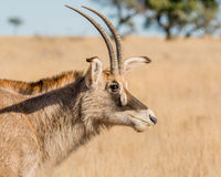 Roan Antelope Portrait Stock Photos