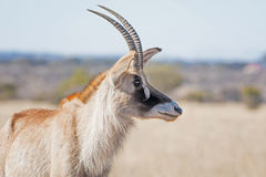 Roan Antelope Portrait Royalty Free Stock Photo