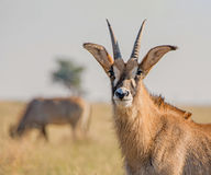 Roan Antelope Portrait Royalty Free Stock Images