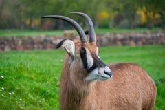 Roan Antelope que mira alrededor imágenes de archivo libres de regalías