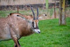 Roan Antelope que mira alrededor foto de archivo