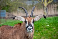 Roan Antelope que mira alrededor imagenes de archivo