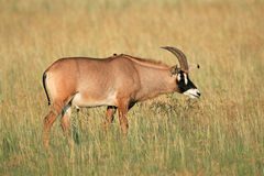 Roan antelope. A a rare roan antelope (Hippotragus equinus) in grassland, South Africa stock images