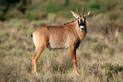 Roan antelope Stock Photos