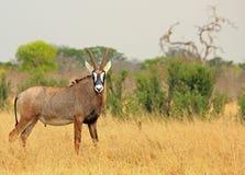 Roan Antelope raro en los llanos africanos que miran derecho en cámara fotografía de archivo libre de regalías
