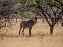 Roan Antelope. A Roan antelope standing in Southern African savanna Royalty Free Stock Images