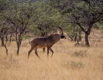 Roan Antelope. A Roan antelope standing in Southern African savanna Royalty Free Stock Image