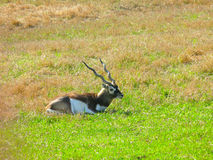 Roan Antelope sitting Royalty Free Stock Photo