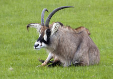 Roan Antelope sitting in a field Royalty Free Stock Image