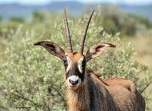 Roan Antelope Stock Images