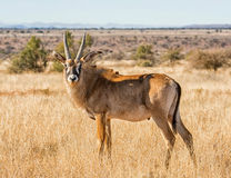 Roan Antelope. In Southern African savanna Stock Photo