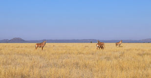 Roan Antelope. In Southern African savanna Stock Photography