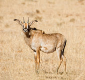 Roan Antelope. In Southern African savanna Royalty Free Stock Photo