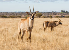 Roan Antelope. In Southern African savanna Royalty Free Stock Photos