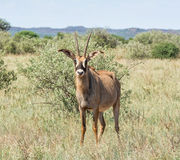Roan Antelope. In Southern African savanna Royalty Free Stock Photography