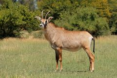 Roan antelope standing in grassland. A rare roan antelope Hippotragus equinus standing in grassland, South Africa royalty free stock photos
