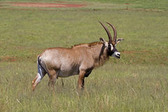 Roan antelope standing in green grassland. A Roan antelope standing in green grassland; Hippotragus equinus stock photo