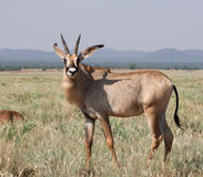 Roan Antelope Royalty Free Stock Images