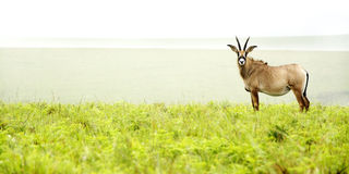 Roan Antelope sulle colline Immagini Stock Libere da Diritti