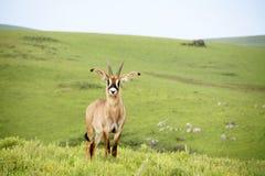 Roan Antelope sur les collines du plateau de Nyika Images stock