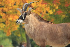 Roan antelope. The upper body of roan antelope Royalty Free Stock Photos