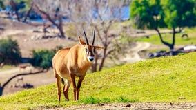 Roan Antelope Royalty Free Stock Photo