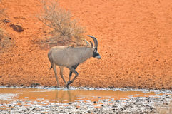 Roan Antelope at waterhole Stock Photography