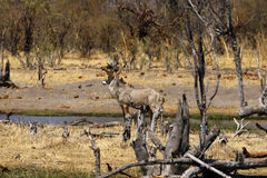 Roan antelope in the wild. Dry arid conditions dried trees waiting for the rains to come, beautiful Roan antelopes come down to drink in the African savannah Royalty Free Stock Photo