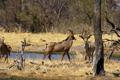 Roan antelope in the wild. Dry arid conditions dried trees waiting for the rains to come, beautiful Roan antelopes come down to drink in the African savannah Stock Photography