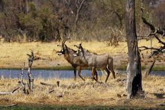 Roan antelope in the wild. Dry arid conditions dried trees waiting for the rains to come, beautiful Roan antelopes come down to drink in the African savannah Royalty Free Stock Photography