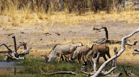 Roan antelope in the wild. Dry arid conditions dried trees waiting for the rains to come, beautiful Roan antelopes come down to drink in the African savannah Stock Image