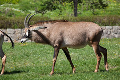 Roan antelope (Hippotragus equinus). Stock Photo