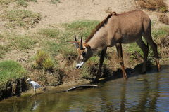 Roan antelope. A young roan antelope (Hippotragus equinus) at a local zoo chasing an egret Stock Image