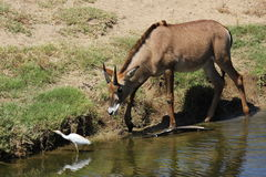 Roan antelope. A young roan antelope (Hippotragus equinus) at a local zoo chasing an egret Stock Photography